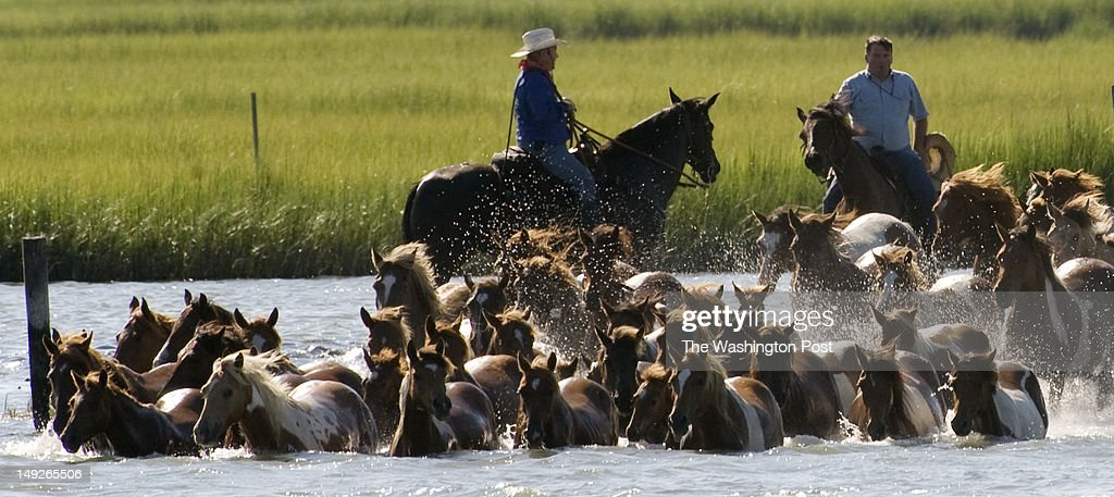 Assateague Ponies swim across the Assateague channel from Assateague Island to Chincoteague Island This is the 87th year of Chincoteague's annual...