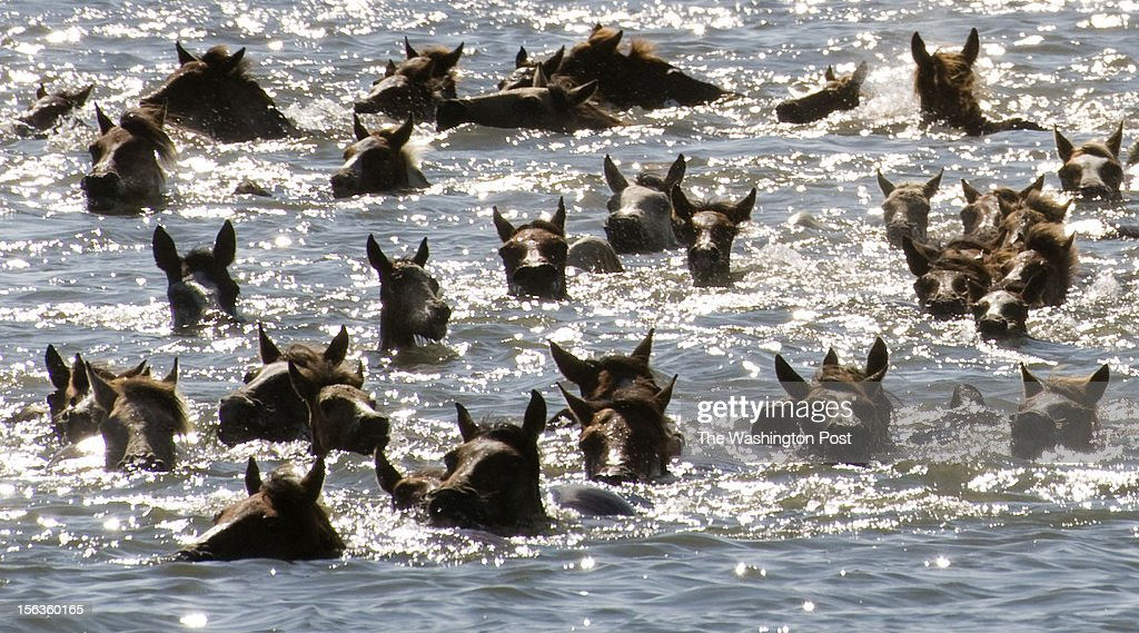 Assateague Ponies swim across the Assateague channel from Assateague Island to Chincoteague Island on July 25 This is the 87th year of Chincoteague's...