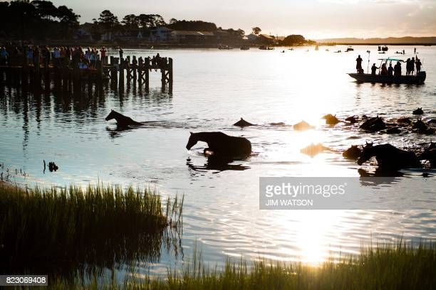 Assateague wild ponies make their way out of the Assateague Channel during the annual Chincoteague Island Pony Swim in Chincoteague Island Virginia...