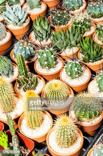 Assorted cactus for sale rm stock photo getty images Cactus pots for sale