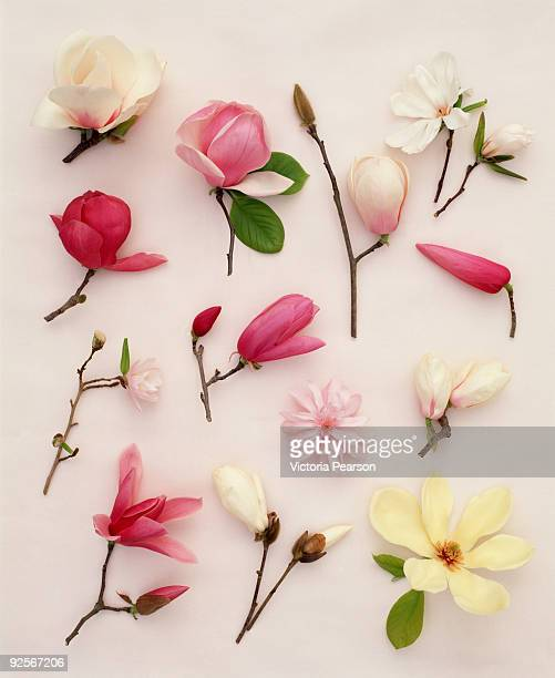 Assortment of magnolias