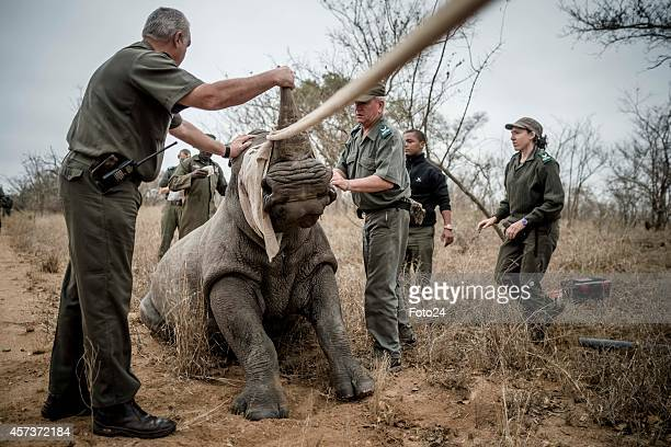 AStaff members pull a rhino after it is sedated on October 16 2014 in the Kruger National Park South Africa SANParks staff members moved rhinos from...