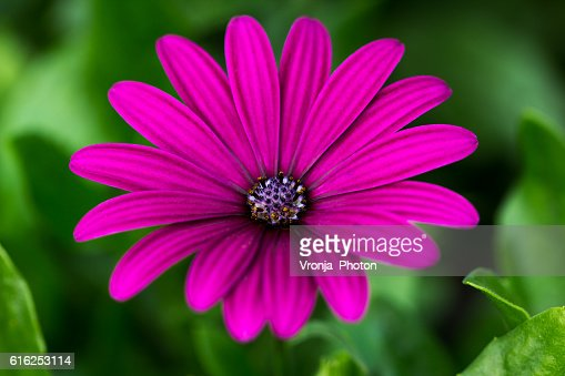 Aster : Stock Photo