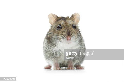 astounded djungarian hamster
