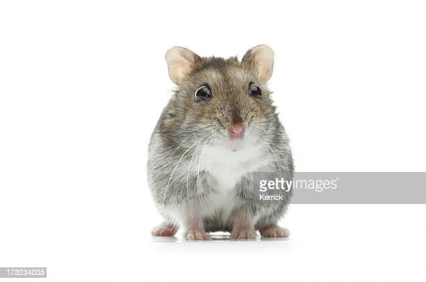 Étonné djungarian hamster