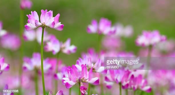 Astragalus sinicus