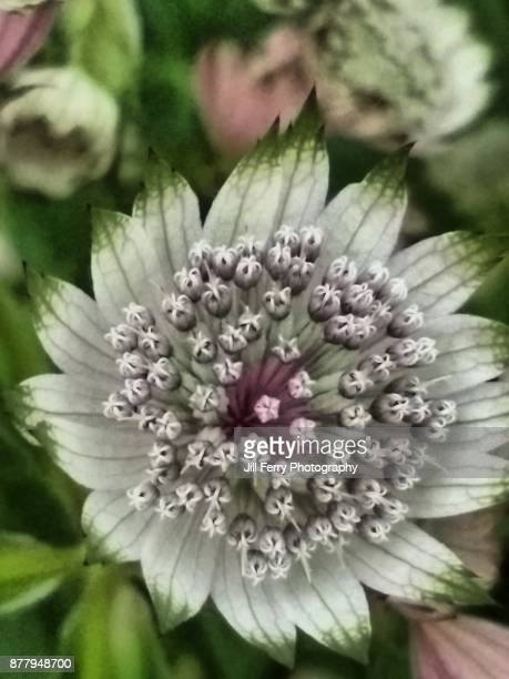 Astrantia Flower