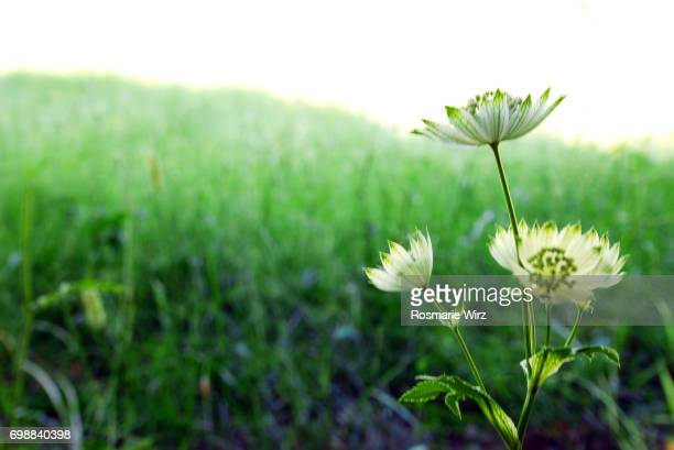 Astrantia major close-up against green meadow, Italy.