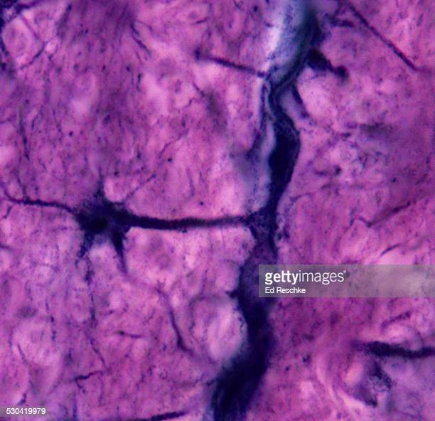 Astrocyte and Brain Capillary--Neuroglial Cell