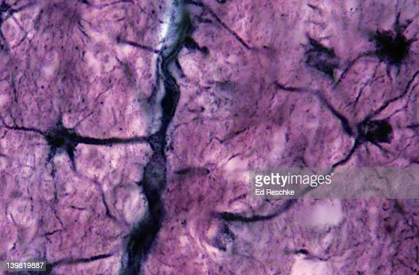 Astrocytes; neuroglial cells, 280X at 35mm. Shows: processes (perivascular feet) of the astrocytes intimately associated with a brain capillary. Possibly helps form the blood-brain barrier to drugs, antibiotics, etc.