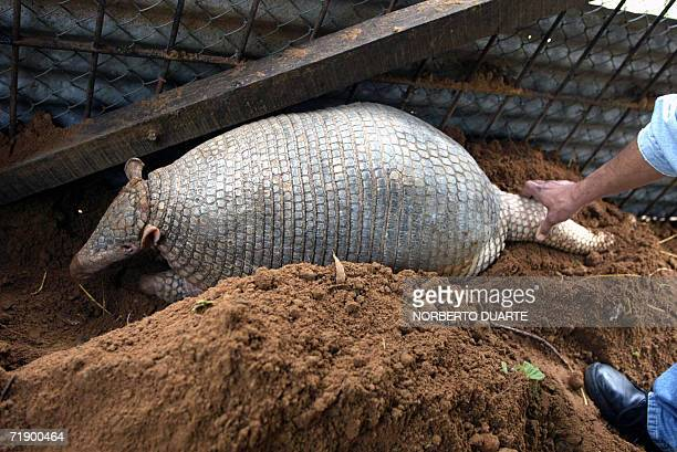 A giant armadillo a species in danger of extinction is seen in the zoo of Asuncion 15 September 2006 The four yearold male rescued from the...