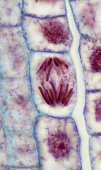 PLANT MITOSIS; ANAPHASE, 500X at 35mm, ONION (Allium) ROOT TIP. Chromosomes are moving apart and toward the poles.