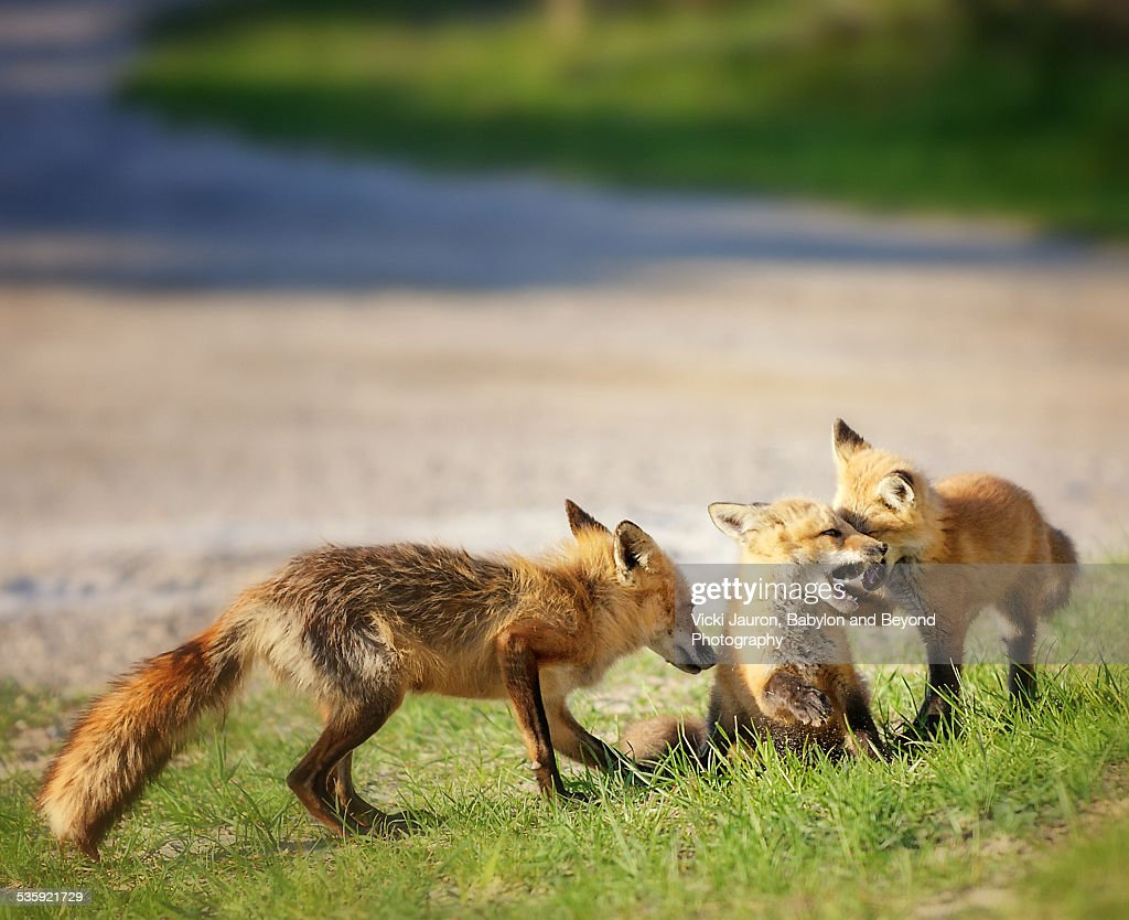 At Play with a Family of Red Foxes at Fire Island : Stock Photo