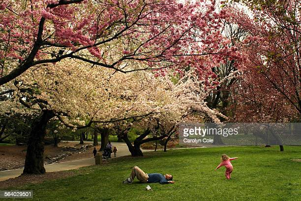 YORK – At the Brooklyn Botanical Gardens the cherry blossoms are starting to appear Scott Neumann and his daughter Eve age 2 1/2 enjoy an afternoon...