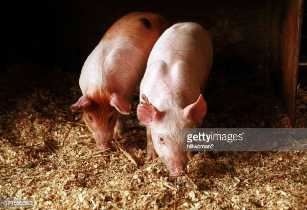 At the Fair: Two Pigs