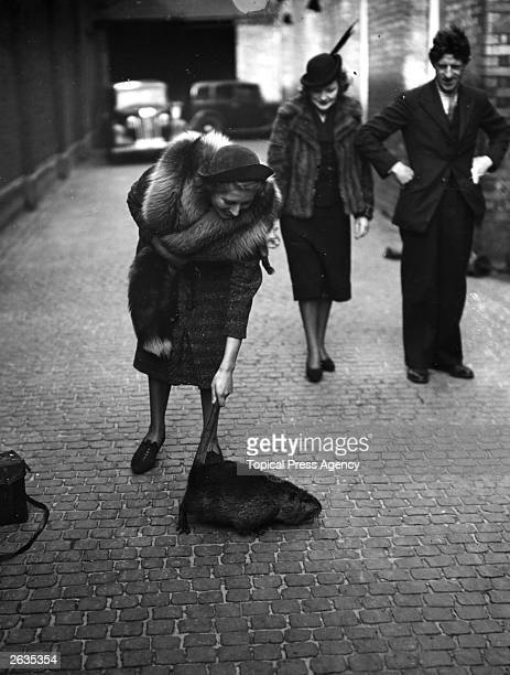 At the furbearing animals exhibition in London a woman tries to pick up a Nutria by its tail