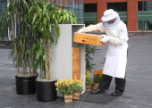 At the rooftop apiary at the Intercontinental Hotel sous chef Cyrille Couet checks out the bees