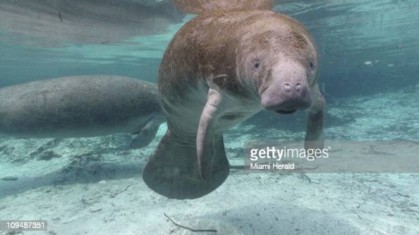 At Three Sisters Springs in the Crystal River National Wildlife Refuge manatees cruise the crystal clear waters
