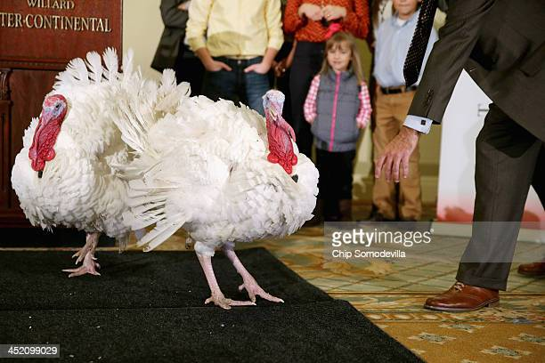 At two feet tall and about 38 pounds two fullgrown Broad Breasted White domesticated turkeys are paraded before members of the news media in the...