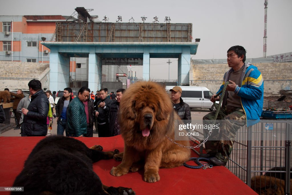 Atendees gather at a stage where Tibetan mastiff dogs are displayed for sale at a mastiff show in Baoding, Hebei province, south of Beijing on March 9, 2013. Fetching prices around 750,000 USD, mastiffs have become a prized status-symbol amongst China's wealthy, with rich buyers across the country sending prices skyrocketing. Owners say the mastiffs, descendents of dogs used for hunting by nomadic tribes in central Asia and Tibet are fiercely loyal and protective. Breeders still travel to the Himalayan plateau to collect young puppies, although many are unable to adjust to the low altitudes and die during the journey. AFP PHOTO / Ed Jones