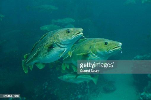 Atlantic cod cod fish aalesund norway europe stock photo for Atlantic cod fish