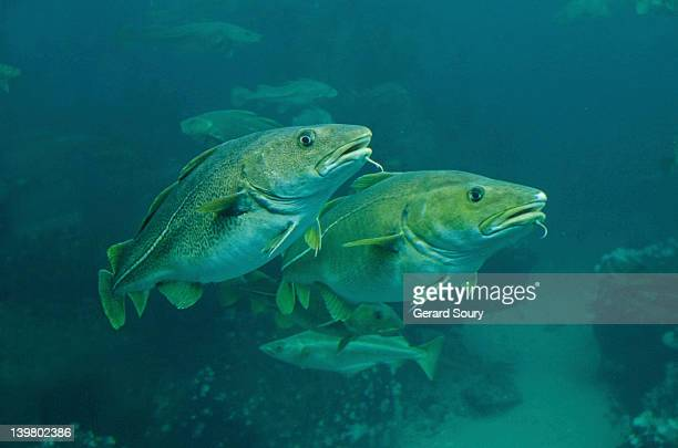 Atlantic Cod, Cod fish (Gadus morhua) Aalesund, Norway, Europe