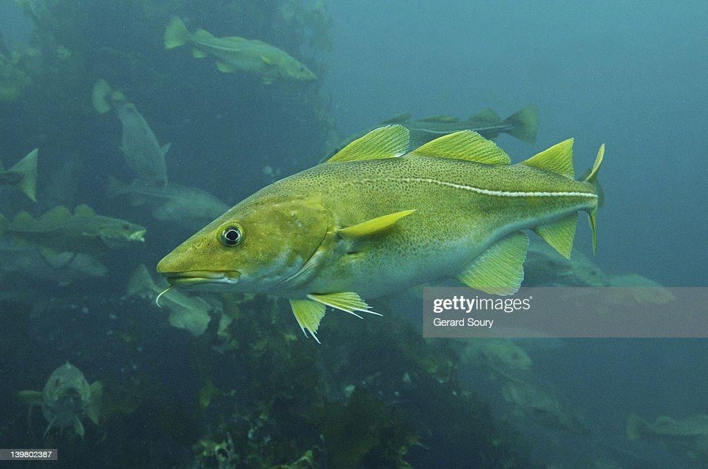 Atlantic Cod, Cod fish (Gadus morhua) Aalesund, Norway, Europe