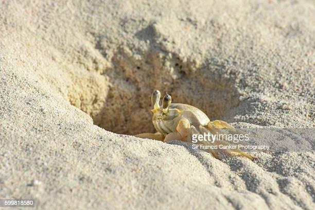 Atlantic ghost crab (Ocypode quadrata) hiding in burrow at Cayo Santa Maria, Cuba