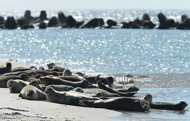 Atlantic grey seals bask in hot weather on a sunny day on the south beach of Duene Island on August 4 2013 near Helgoland Germany Duene Island was...