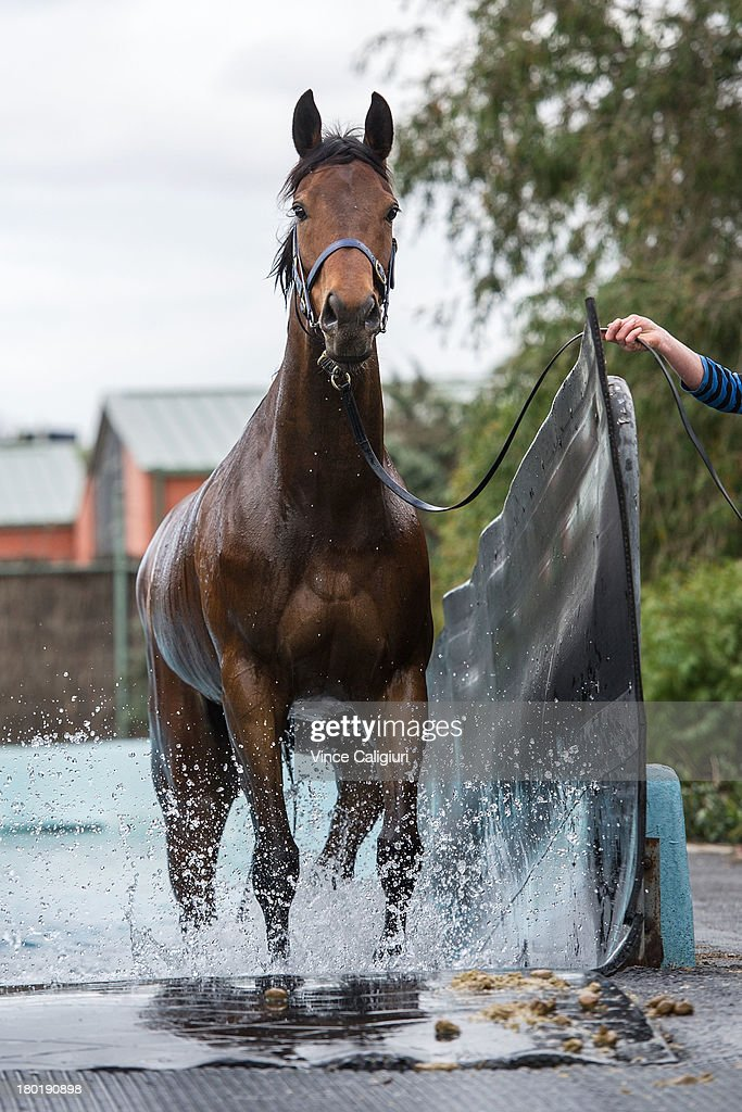 Atlantic Jewel walks in the swimming pool at Flemington Racecourse on September 10, 2013 in Melbourne, Australia.