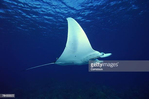 Atlantic manta ray