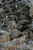 Atlantic puffin are nesting in the bird cliff at Fjortende Julibreen located at northwestern Spitsbergen in the Krossfjord Svalbard Norway