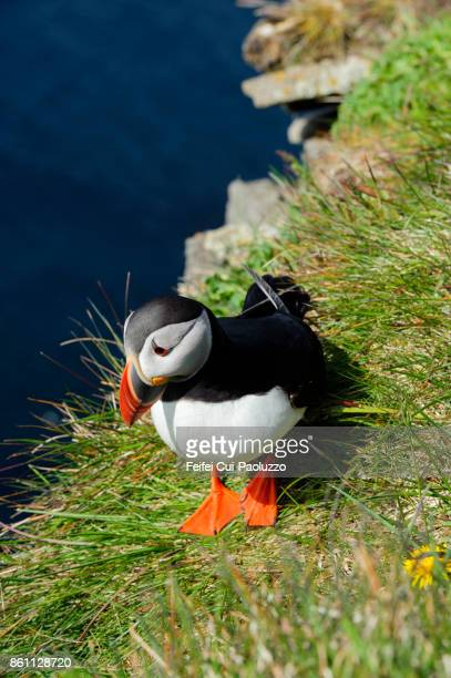 A Atlantic puffin at bird cliff of Látrabjarg, westfjords, Iceland