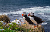 Atlantic Puffin from Iceland