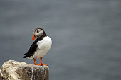 Single Atlantic Puffin on rock in the Farne Islands, Northumberland, UK