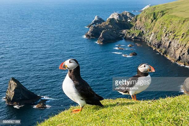 Atlantic puffins at clifftop edge