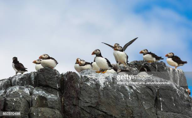 Atlantic Puffins on rocks at Farne Island