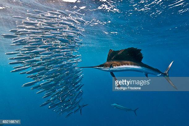 Atlantic sailfish (Istiophorus albicans) attacking a sardine baitball hoping to strike one with its serrated bill, Isla Mujeres, Mexico