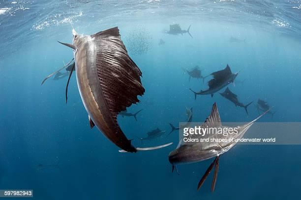 Atlantic Sailfish hunting in Caribbean Sea