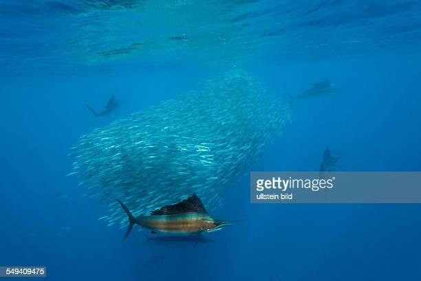 Atlantic Sailfish hunting Sardines Istiophorus albicans Isla Mujeres Yucatan Peninsula Caribbean Sea Mexico