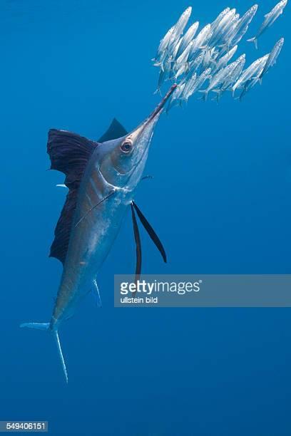 Atlantic Sailfish hunts Sardines Istiophorus albicans Isla Mujeres Yucatan Peninsula Caribbean Sea Mexico