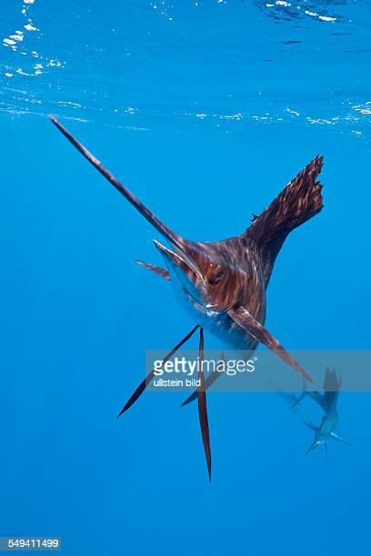 Atlantic Sailfish Istiophorus albicans Isla Mujeres Yucatan Peninsula Caribbean Sea Mexico