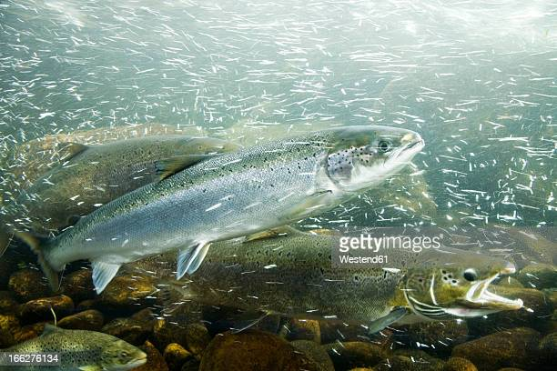 Atlantic Salmons in river