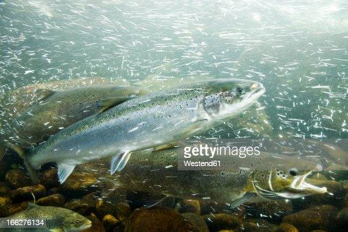 Atlantic Salmons in river