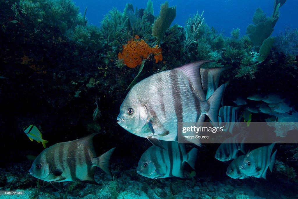 Atlantic Spadefish on the Reef : Stock Photo