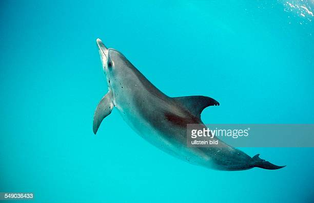 Atlantic spotted dolphin Stenella frontalis USA FL Florida Atlantic Ocean