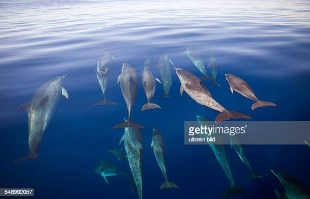 Atlantic Spotted Dolphins Stenella frontalis Azores Atlantic Ocean Portugal
