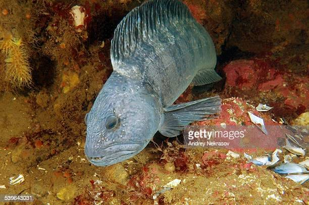 Atlantic Wolffish -Anarhichas lupus-, White Sea, Karelia, Russia