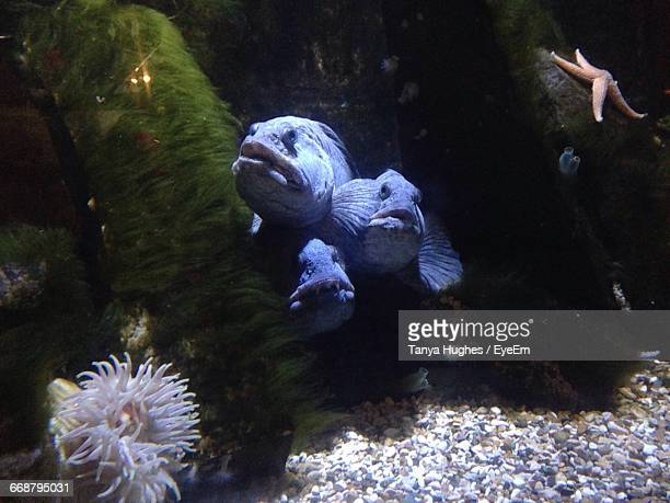 Atlantic Wolffish In Aquarium