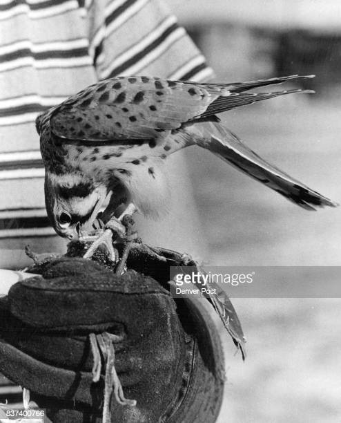 Atlas in a training exercise for falcons retrieves a lure made by Frances Dent of a felt pouch pigeon feathers and having a chunk of beef heart...
